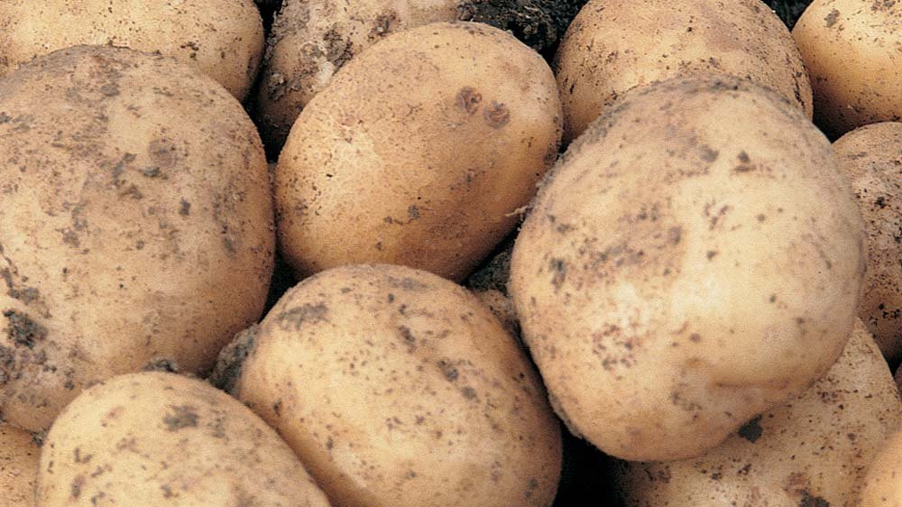картофель сорта финский
