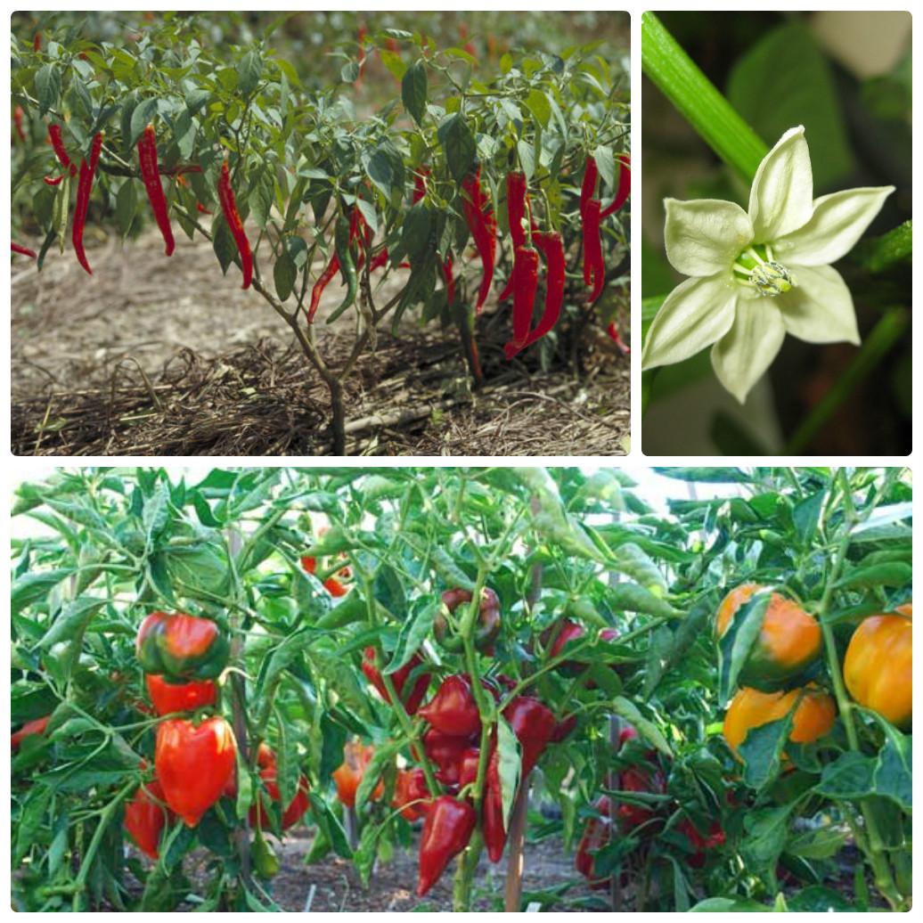 Сладкий перец – полезный и хорошо растет