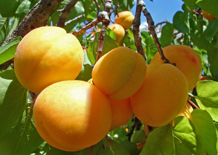 Технология выращивания абрикоса