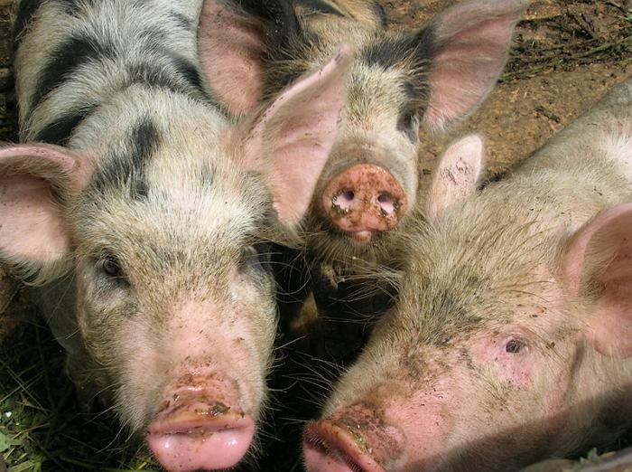 Опасность дизентерии у свиней