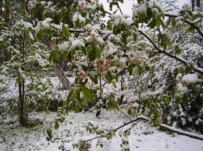Защита яблони от мороза
