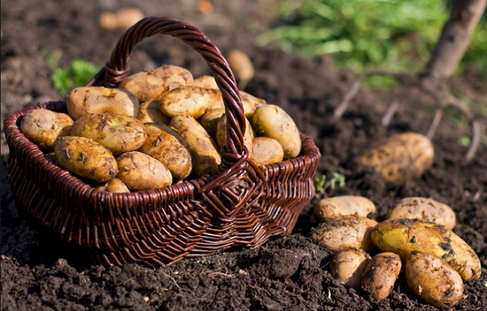 Картофель из Скандинавии