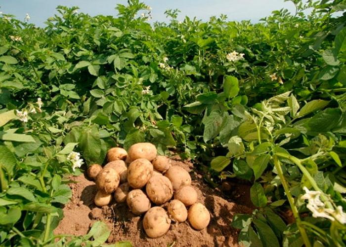 Картофель розамунда описание сорта фото
