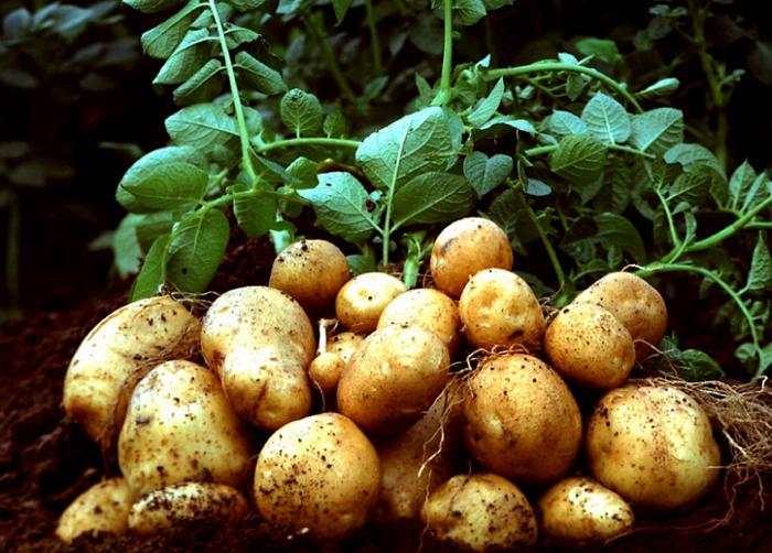 Картошка хорошо уродила