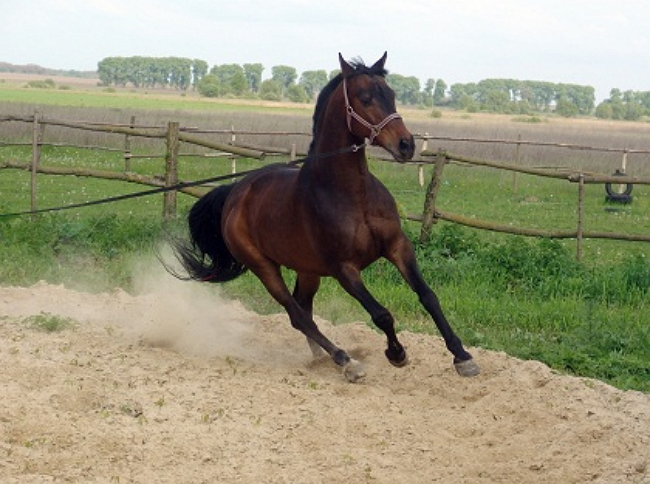 Заездка молодого коня