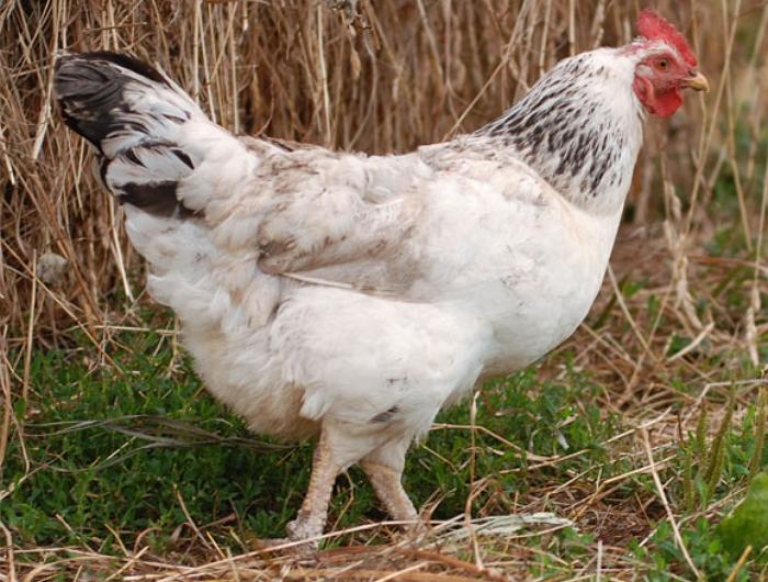 Реовирусная болезнь птицы
