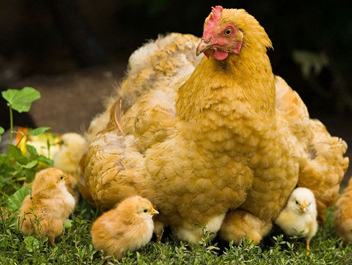 Разведение цыплят на даче