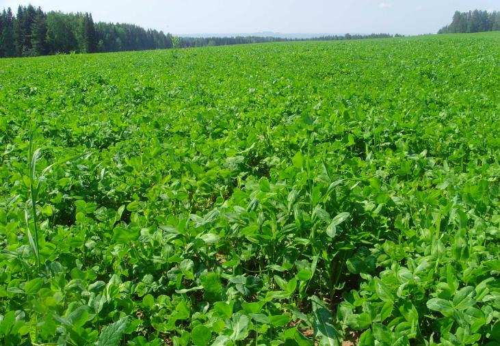 Люцерна - кормовое растение