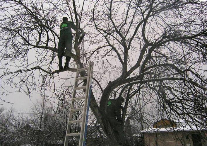 Как правильно обрезать старое дерево