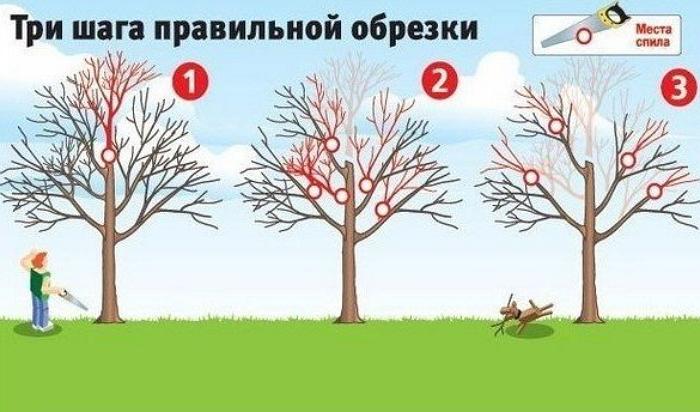 Обрезка дерева в 3 шага