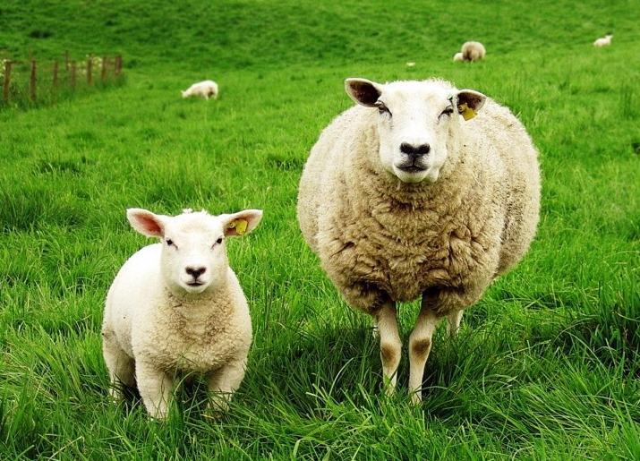 Правила разведения овец