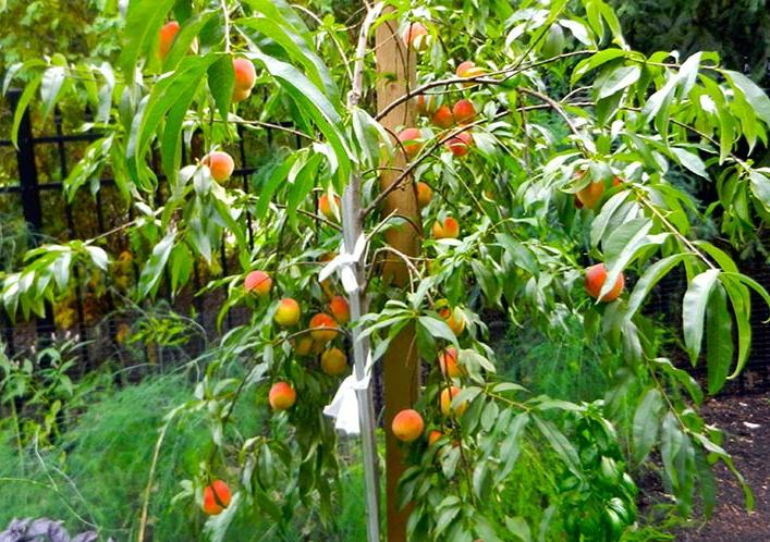 Как обрезать персиковое дерево