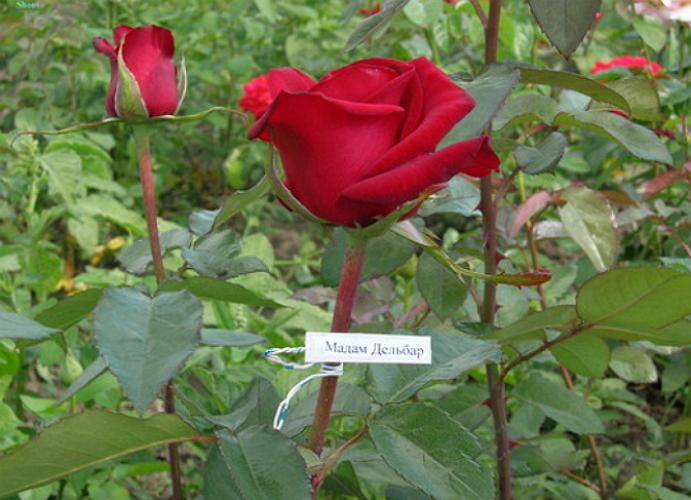 Розы на срез