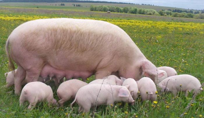 Свинья с поросятами на выпасе