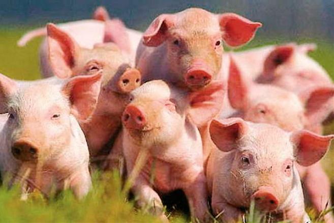 Как выгодно разводить свиней
