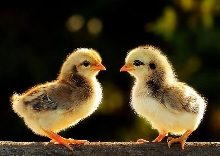 Как вырастить крепких цыплят