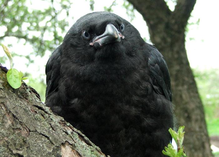 Содержание ворона в домашних условиях