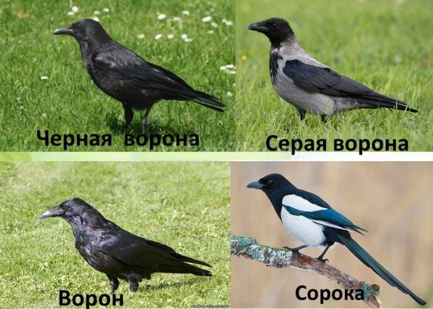 в чет разница между вороной и вороном