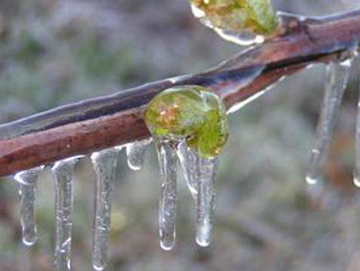 Обрезка деревьев после заморозков