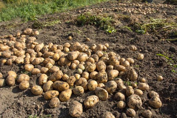 Сорт картофеля Бернадета — лидер по урожайности