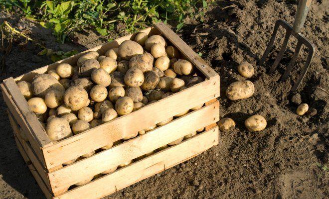 Картофель на песчаной подушке - новое слово в агротехнике