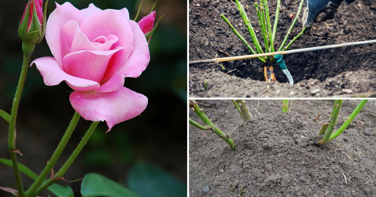 Выращивание роз на срез для продажи — выгодное дело