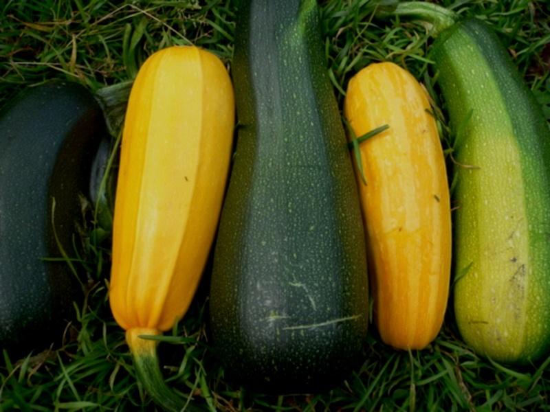 Цуккини – урожайная и вкусная культура