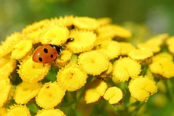 Пижма – ценное лекарственное и пряно-ароматическое растение