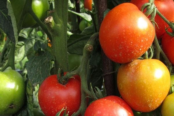 Лучшие сорта помидоров для выращивания