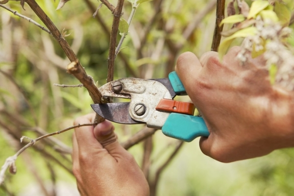 Как обрезать деревья правильно?