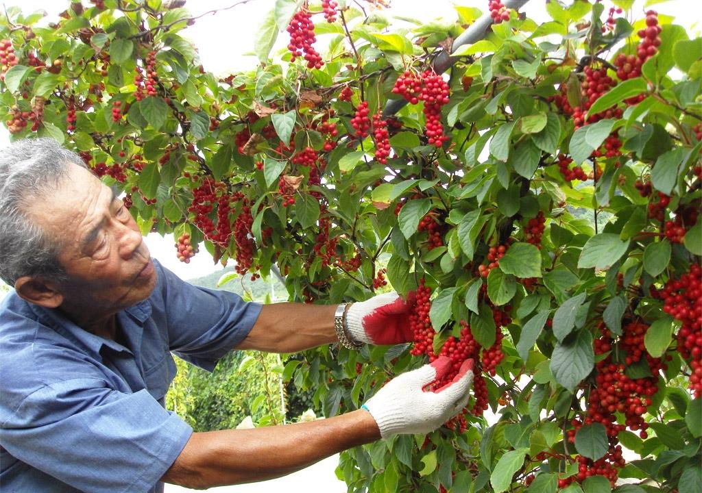 Китайский лимонник выращивание целебные свойства 567