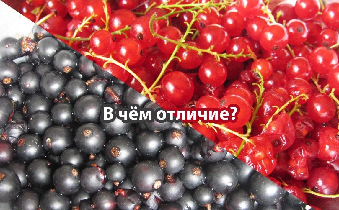 Красная смородина - не прихоть, а мудрый выбор