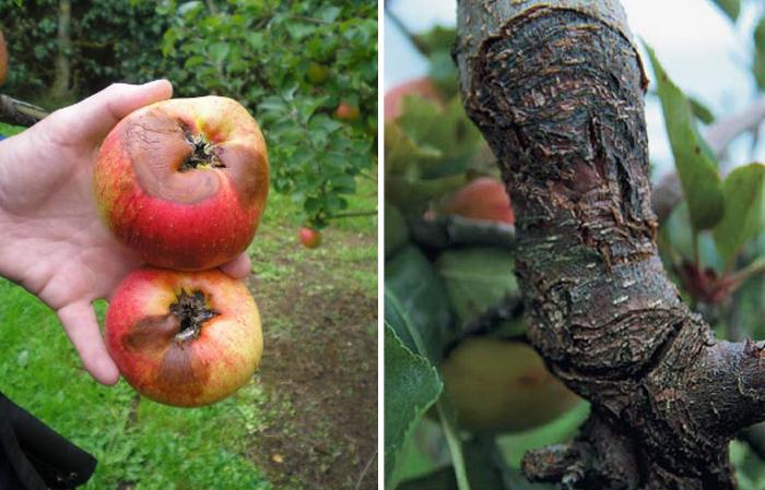 Обыкновенный рак яблони: как с ним бороться?
