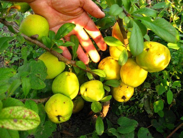 Хеномелес — айва японская: ценное декоративное и плодовое растение