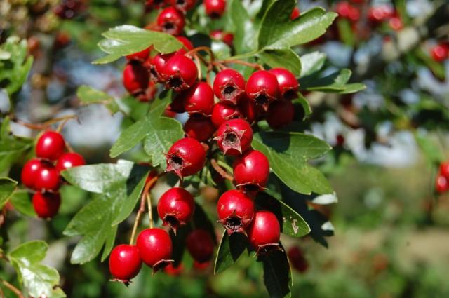 Боярышник – новая плодовая культура
