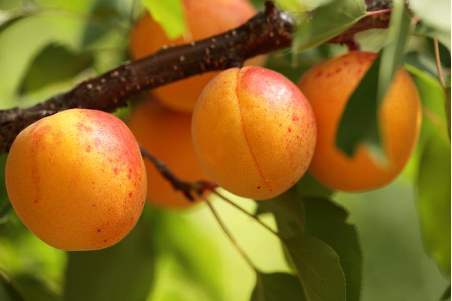 Все о выращивании абрикоса