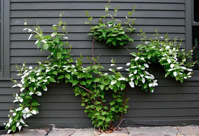 Актинидия коломикта – украшение любого сада
