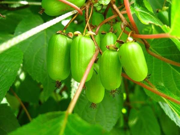 актинидия плоды фото