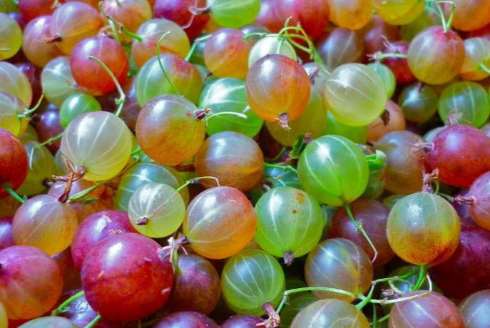 Крыжовник – ягодная культура, незаслуженно забытая
