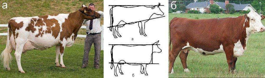 Как выбрать удойную корову: признаки продуктивности