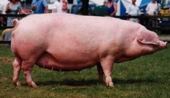 Разведение свиней — самый быстрый доход