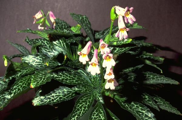 Хирита - выращивание и уход ха цветком