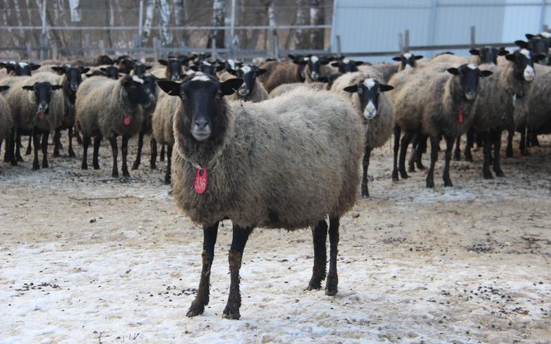 Романовские овцы – перспективные и приносят небывалый доход