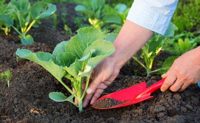 выращивание и уход за белокочанной капустой