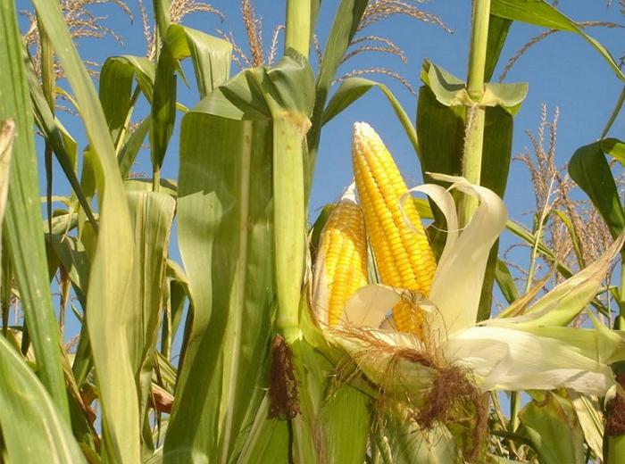 Особенности выращивания кукурузы