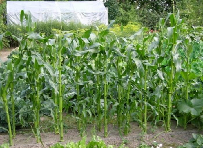 Зеленые стебли кукурузы