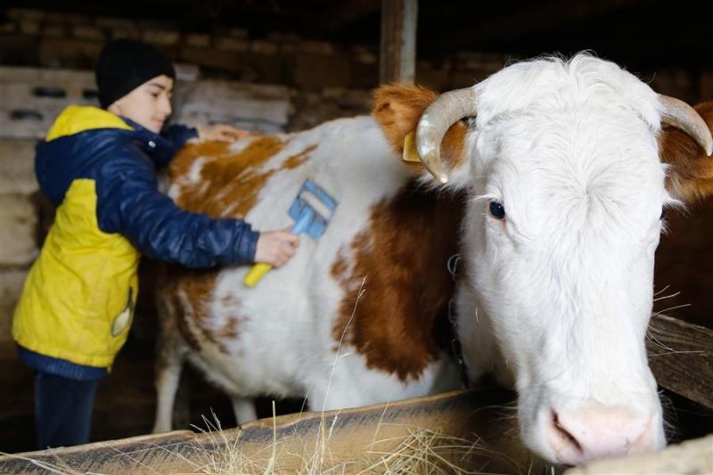 Уход за коровой: от А, до Я