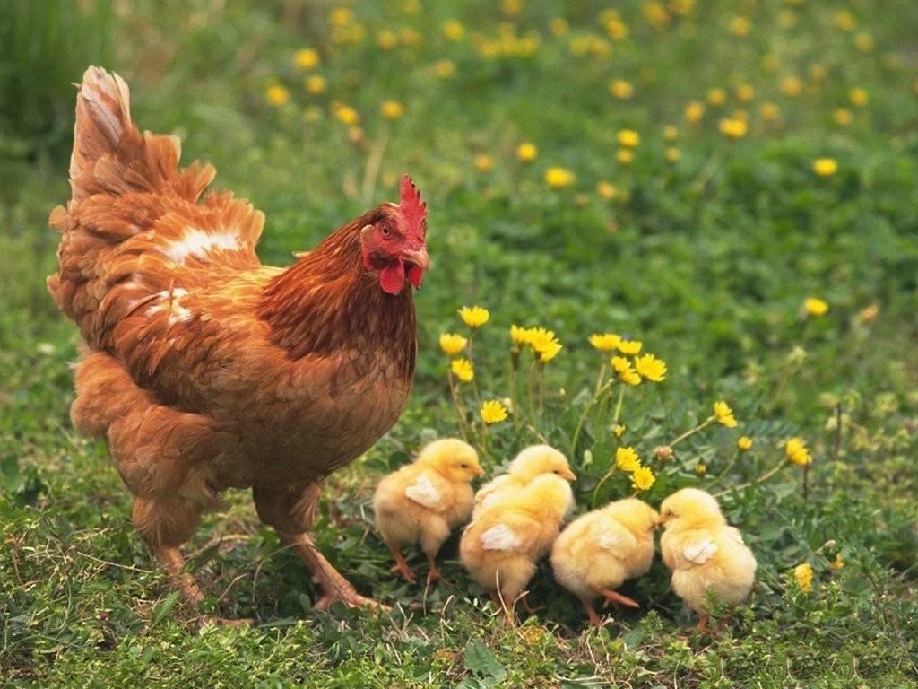 Что делать, чтобы куры несли крупные яйца и не болели