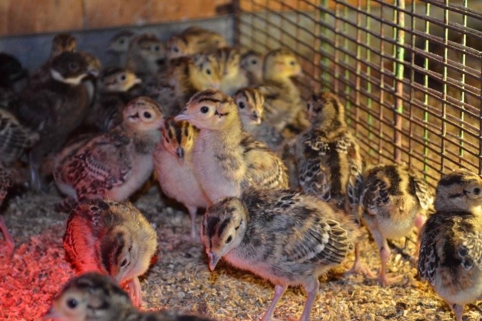 Выращивание фазанов в домашних условиях — это удовольствие