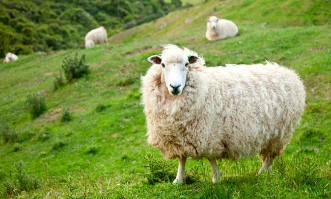 Разведение овец выгодно и интересно